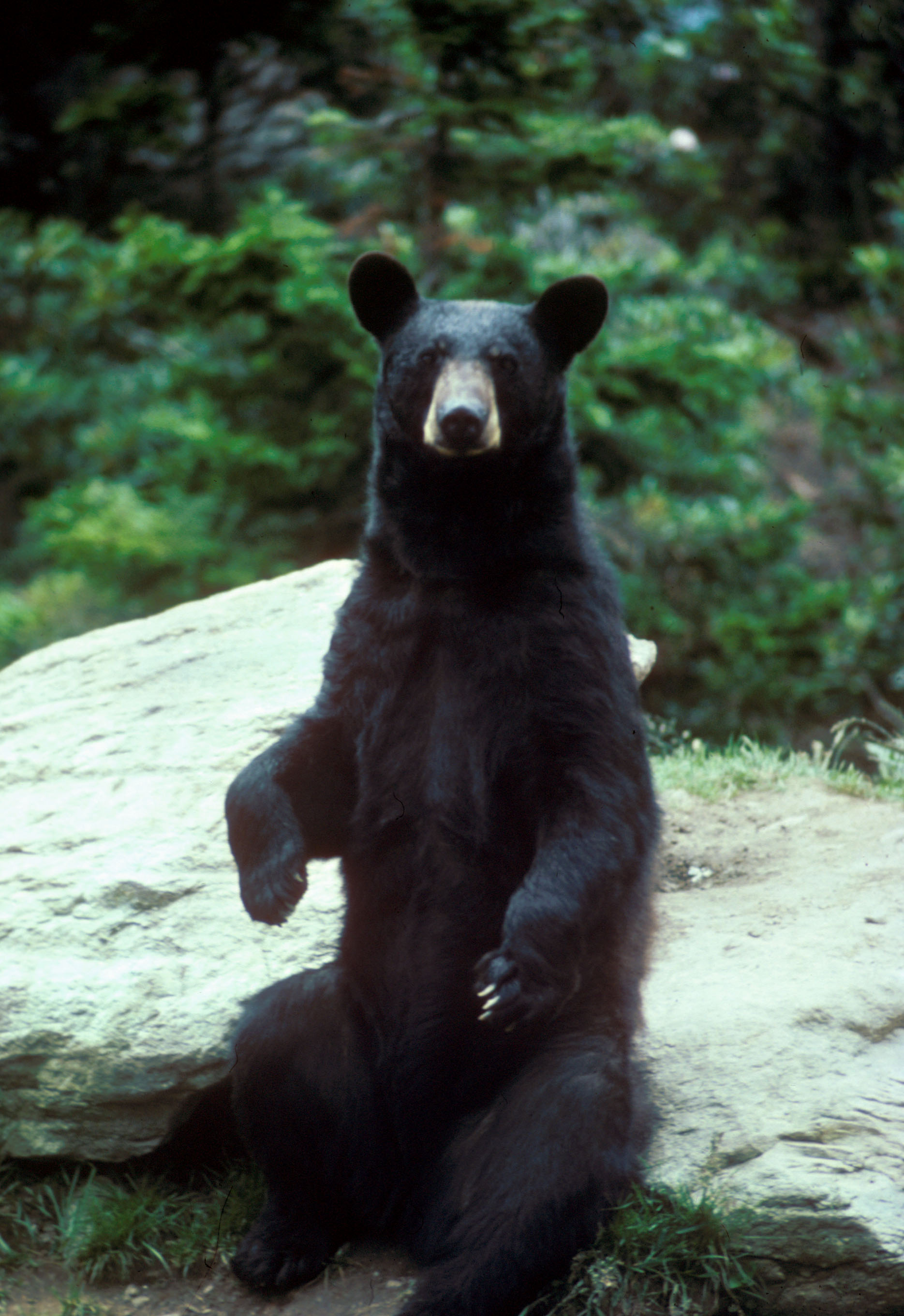 Bears are still seen in Western Loudoun, such as this young male at Banshee Reeks