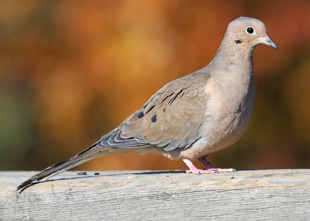 Mourning doves are common across the county